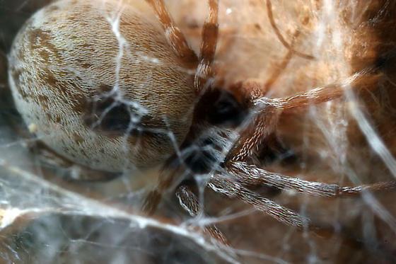 Mesh Web Weaver? - Dictyna - female