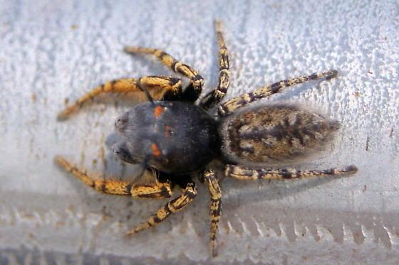 P. mystaceus male dorsal - Phidippus mystaceus - male