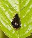 Beetle ID - Capraita obsidiana