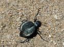 Blister beetle? - Cysteodemus armatus