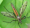 crane fly - Tipula dorsimacula - female