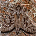 7817 Northern Pine Sphinx - Lapara bombycoides