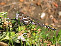 First dragonfly of the season - Rhionaeschna californica