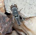 Aphoebantus - male