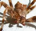 Male Araneus gemmoides - Araneus gemmoides - male