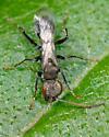 UID wasp - Dipogon