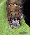 Caterpillar - Acronicta betulae