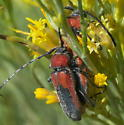 Red and black longhorns - Crossidius coralinus - male - female