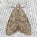 Sweet Pepperbush Nola Moth - Hodges#8996 - Nola clethrae - male
