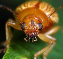 Coleoptera - Colaspis brunnea
