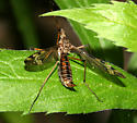 Cranefly - Tipula fuliginosa - female