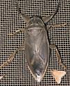 Toe-Biter - Lethocerus uhleri