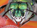 Euglossa dilemma - male orchid bee  - Euglossa dilemma - male