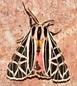 Moth - Grammia parthenice - male