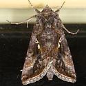 Common Looper Moth - Autographa precationis