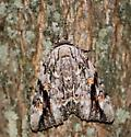Underwing moth - Catocala