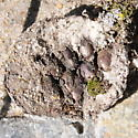 Nest - Monodontomerus