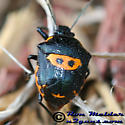 Anchor Stink Bug - Stiretrus anchorago