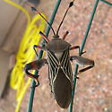 Identify this south eastern Arizona beetle please. - Thasus neocalifornicus
