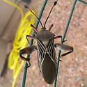 Identify this south eastern Arizona beetle please. - Thasus neocalifornicus