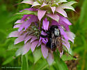 Black Bee on Lemon Beebalm - Xylocopa mexicanorum - male