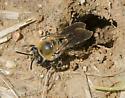 Andrena ? - Colletes thoracicus - female