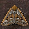 Southern Pine Looper - Caripeta aretaria