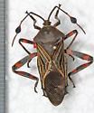 Coreidae - Thasus neocalifornicus