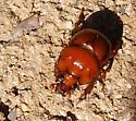 Reddish brown dung beetle - Bolbocerastes imperialis