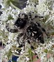Tan Phidippus spider - Phidippus otiosus - female