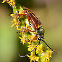 Flower Beetle - Typocerus