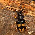 Beetle - Trachyderes mandibularis