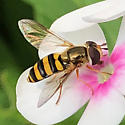maybe Eupeodes americanus/pomus group? - Eupeodes