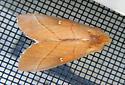Moth - Nadata gibbosa