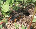 Wasp, sp? - Podium luctuosum