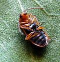 Elm leaf beetle - Xanthogaleruca luteola