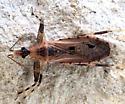 cool-looking bug - Oncocephalus geniculatus