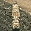 Moth - Euzophera aglaeella