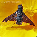Bee Fly - Hemipenthes eumenes