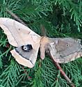 Huge Moth - Antheraea polyphemus