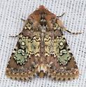 Hemibryomima chryselectra?