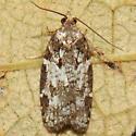 tortricid moth - Acleris variana