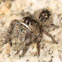 White-lipped jumping spider - Phidippus purpuratus