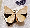 Taeniogramma mendicata - Hodges# 6424 - Taeniogramma - male