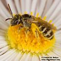 Bee - Halictus tripartitus - female