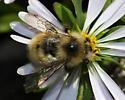 unidentified bumblebee - Bombus rufocinctus