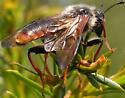 Sawfly - Trichiosoma triangulum - male