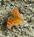 Which  Satyr Comma  ? - Polygonia satyrus