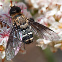 Bee fly on buckwheat - Chrysanthrax vanus