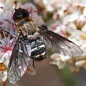 Bee fly on buckwheat - Chrysanthrax vanus